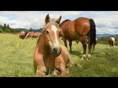 All thanks to a woman and her dog, over 200 rescue horses roam free at Duchess Sanctuary in Oregon. The formerly abused and neglected horses have this beautiful oasis to call home. Horse Rescue, Animal Rescue, Horse Videos, Thing 1, Horse Farms, My Horse, Animal Welfare, Wild Horses, My Animal