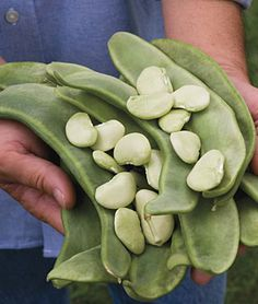 Oh my gosh, I want to grow these so bad!  Big Mama heirloom lima beans.