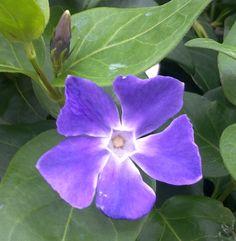 09 04 2012 pervinca le sfumature del viola
