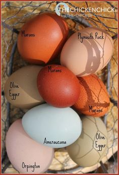 Eggs by breed via The Chicken Chick® Backyard Chicken Coops, Backyard Farming, Chickens Backyard, Chicken Garden, Chicken Chick, Chicken Eggs, Chicken Egg Colors, White Chicken, Keeping Chickens