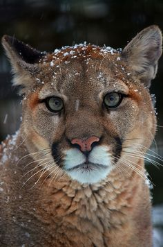 Canadian Cougar by Arvo P