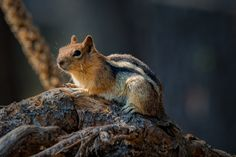 Golden Mantle Squirrel by donhillard on 500px