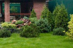Pinus mugo 'Mops Gold'. Niewielki ogródek, żywotniki, kosodrzewiny, jałowce