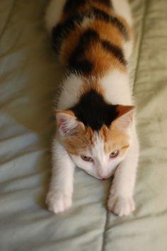 via itty bitty kitty committee Kittens Cutest, Cats And Kittens, Ragdoll Kittens, Funny Kittens, Bengal Cats, White Kittens, Baby Cats, Baby Animals, Cute Animals