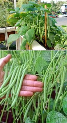 dream garden Thanks to their compact growing habit, bush beans is one of the most suitable crops can be grown in a container. If you do decide to grow this type of beans, add the support structure before you plant. Growing Tomatoes In Containers, Growing Veggies, Growing Plants, Grow Tomatoes, Growing Green Beans, Home Vegetable Garden, Fruit Garden, Fruit Plants, Pot Plants