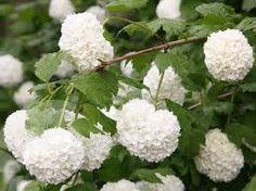 viburnum opulus 3X APRIL 13 Het is een goed winterharde, bloeiende struik/heester Mooi vanwege de vele witte bolvormige bloemen, de bessen die zich erna vormen en de herfstverkleuring van het blad. De bessen zijn giftig. Viburnum opulus kan goed solitair in de border staan, maar doet het ook goed als groepsbeplanting. Viburnum opulus kan 2,5 tot 3 meter hoog worden. Zon/halfschaduw voldoende vochtig, mulchen. na de bloei snoeien in het hart van de struik zodat hij voldoende licht krijgt