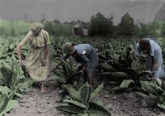 CHILD LABOR - FARM: 1916, Girls worming tobacco. Myrtle 10, Zelina 12, and Florence 13 years old; Brother 14 and sister 16. Father, John Richard rents farm near Centre School. Location - Nicholas County, Kentucky [Colorized]
