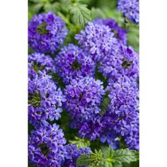 Superbena Royale Chambray (Verbena) Live Plant, Blue-Purple Flowers, 4.25 in. Grande, 4-pack