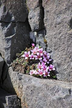 Apline Flowers on Isolated Rocky Outcrop in Middle of Vatnajokull, Iceland by Ettrick Sonntag