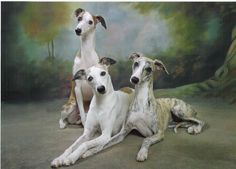 3 whippets (Connie's whippet girls)