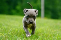 Pit Bull puppy :) gneiin