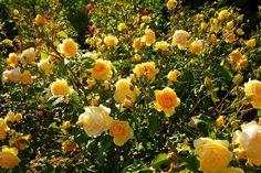 Moje róże – moja pasja » Blog Archive » Graham Thomas