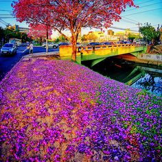 ' Tapete Rosa ' Floração de Ipês-roxos em Porto Alegre   Flickr - Photo Sharing!