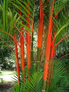 Lipstick palms, brilliant addition to a tropical north Queensland garden