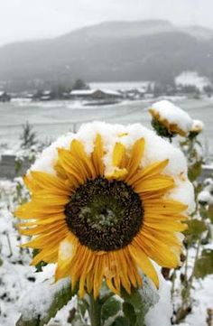 I saw this picture today in a Norwegian newspaper . I found it so amazing to see the sunflower covered in snow! What a contrast!