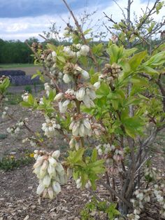 By mid May (the 14th this year) the blueberry blossoms are in full bloom. This means that almost all of the blossoms have bloomed into a mostly white, cylindrical flower
