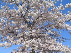 Spring is here! Yoshino Cherry Tree, Jefferson Memorial, Spring Is Here, My Images, Cherry Blossom, Vancouver, City Photo, Bloom, Park