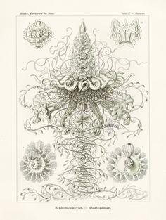 Haeckel Antique Prints 1899
