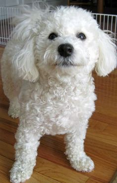 Bichon Frisé Benji the Bichon Frise Dogs Daily Puppy This whole attitude thing is the way Candy looks at me daily. Bichon Dog, Maltese Dogs, Teacup Chihuahua, Lap Dogs, Dogs And Puppies, Doggies, Poodle, Sweet Dogs, Dog Shedding