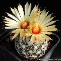 Sementes Cactos Coryphanta Cornifera Cactus Flor Muda