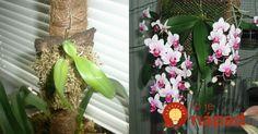 Nedarí sa vašej orchidei? Vyskúšajte tento trik, možno budete prekvapení!