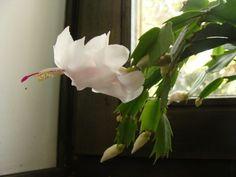 Dlaczego grudnik nie kwitnie lub zrzuca pąki? Przyczyny i postępowanie - E-ogródek Plants, Cactus, Plant, Planets
