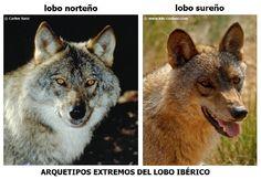 lobo salvaje de siberia - Buscar con Google