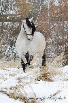 Weißes Pferd im weißen Schnee                                                                                                                                                                                 Mehr Horses In Snow, White Horses, Appaloosa, Friesian, Horse Photos, Horse Pictures, Most Beautiful Animals, Beautiful Horses, Pretty Horses