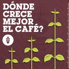 """Dónde crece mejor el café? La planta de café Arábica tiene algunos gustos muy específicos cuando se trata de condiciones de cultivo. Sus preferencias son abundantes precipitaciones, temperaturas ambientales entre los 15 y 24 grados centígrados y un suelo rico en nutrientes. Esas condiciones son comunes dentro de los 10 grados al norte y al sur del ecuador, en una zona conocida como """"el cinturón del café"""" y en una particular altitud."""