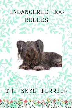Endangered Dog Breeds All about The Skye Terrier Best Picture For Dogs bed For Your Taste Baby Dogs, Dogs And Puppies, Dog Lover Gifts, Dog Lovers, Skye Terrier, Terriers, Rare Dog Breeds, Group Of Dogs, Dog Books