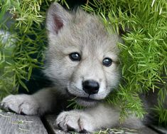 Cute littele wolf