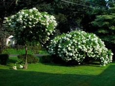 Pee Gee Hydrangea (only hydrangea that can be pruned into a tree form)