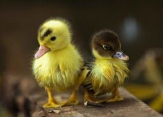 Pictures of ducks and ducklings to make you smile. I believe in duckling therapy:)