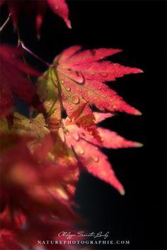 Photos de feuilles rouge d'érable en automne. Érable nain du Japon pour être précis ;) Si vous êtes des fidèles du blog, vous savez que chaque année en ...