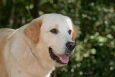 Stewy is an adoptable Golden Retriever Dog in Deerfield, NH. I am a sweet and wonderful southern boy who is looking for a forever home. I enjoy walks, playing outside and hanging out with people. So i...