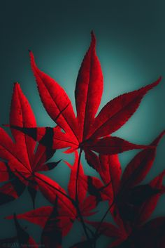 Japanese Maple Prints: on or on RedBubble Aqua, Red Turquoise, Red And Teal, Red Green, Japanese Maple, Red Aesthetic, Arte Floral, Shades Of Red, Amazing Flowers