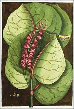 Mangrove Grape Tree : Mark Catesby: c1754 : Fine Art Giclee Archival Reprint Company