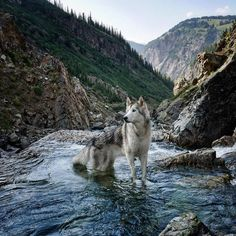 Im Loki a husky/arctic wolf/malamute. A low content wolfdog living in Colorado where the adventures never end. Beautiful Wolves, Beautiful Dogs, Animals Beautiful, Cute Animals, Wolf Husky, Alaskan Malamute, Wolf Pictures, Tier Fotos, Wolf Tattoo Design