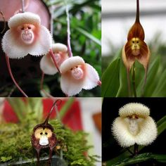 "Monkey orchids!  Yes, they're real flowers.  For even stranger looking flowers look on my board, "" U wanna laugh thru my wackado garden¿?¿"""