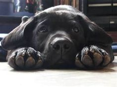 Black labs - the best dogs ever