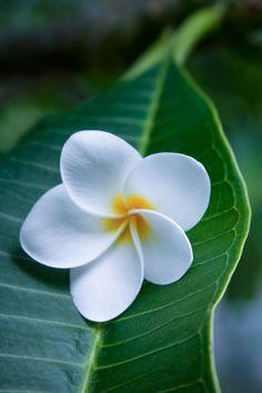 Ahui Pua Melia O Waianapanapa - Tropical Plumeria