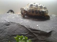 One of many Tortoises that we have been asked to take on and care for x