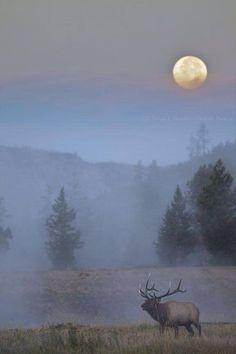 Beautiful!! Bull Elk.