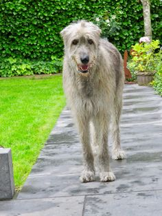 """Highlights: *The tallest of the AKC-recognized breeds *The breed dates back to the days of the Roman empire *Known for being gentle giants *Wolfhounds stay puppies for a year or more, and can sometimes weigh around 100 pounds even during puppyhood *One of the central figures in the legend """"Gelert, the Faithful Hound"""" is an Irish Wolfhound Hound Breeds, The Perfect Dog, Afghan Hound, Gentle Giant, Dogs Of The World, Mans Best Friend, Creepy, Irish Wolfhounds, Tigger"""