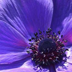 kathleen walsh | blue feeling | purple violet + flower anemone macro