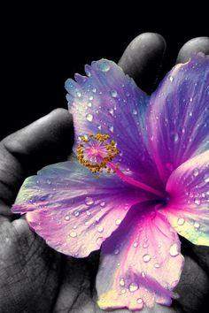 Image via We Heart It https://weheartit.com/entry/80155046/via/13802995 #awesome #beautiful #black&white #bloom #blossom #blue #drop #flower #hand #love #pink #purple #water #wet #wonderfule