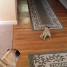 The Halloween decorations have arrived. #pugs... | Boodapug