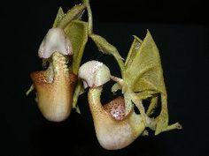 Coryanthes verrucolineata DRAGON?