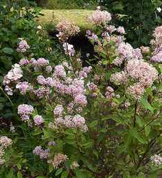 """Ceanothus x pallidus 'Marie Simon' blooms repeatedly from Summer thru Fall with a profusion of fluffy, scented, light pink, 3"""" panicles on showy, contrasting, wine red stems, bushy 5' x 5' habit. Deer resistant and drought tolerant Pt.Sun/Sun Low/Avg.water Shrub USDA Zones 6-11"""