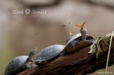 Reptiles: A butterfly feeding on the tears of a turtle in Ecuador Beautiful Creatures, Animals Beautiful, Cute Animals, Butterfly Photos, Butterfly Kisses, Equador, Turtle Love, Tiny Turtle, Image Of The Day